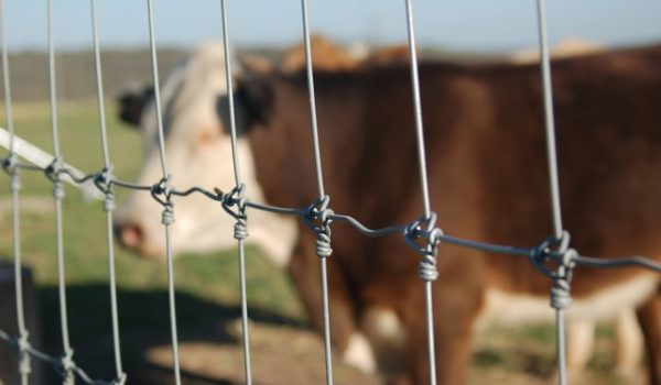 Wire Fencing with Cattle